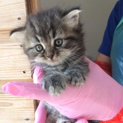grey tabby kitten sitting in someone's gloved hand
