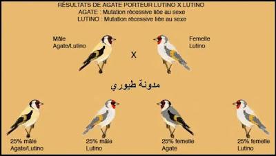 نتائج تزويج ذكر حسون طفرة الآغات حامل لللاتينو مع أنثى حسون طفرة اللاتينو