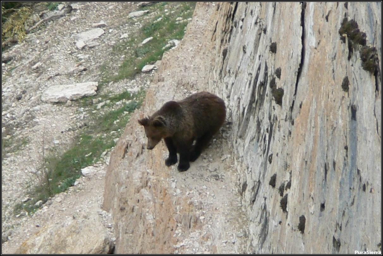 Oso vigilante en el Rincón Del Buitre (El Hosquillo)