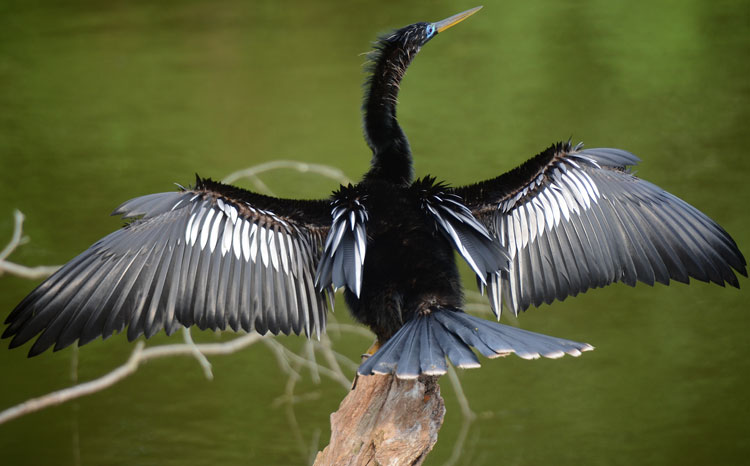 ...even when dry, an Anhinga will sit in the sun with wings spread to capture the sun's warm rays.