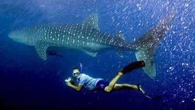 Hiu paus Whale Shark Gorontalo Tour Paket Wisata