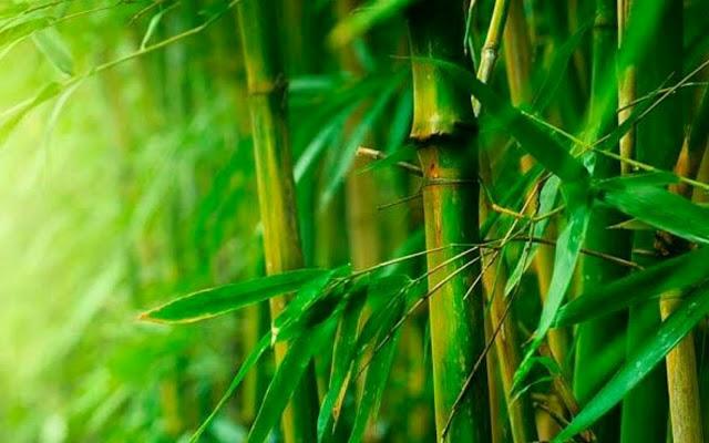 manfaat tumbuhan bambu