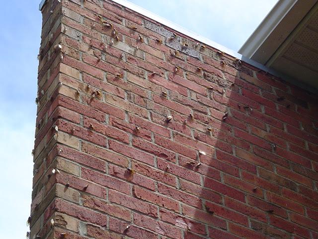 17 year cicada locust brick wall