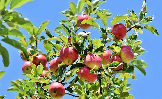 seeing apple in dream   सपने में सेब देखना   sapne mein seb dekhna, sapne me seb dekhna, सपने में सेब देखना, सपने में सेब खाना, सपने में सेब खरीदते देखना, सपने में सेब का पेड़ देखना, सपने में सड़ा हुआ सेब देखना, Seeing the apple in the dream, Eating apple in a dream, Looking to buy apples in a dream, Seeing the apple tree in the dream, Seeing Rotten Apples in Dreams