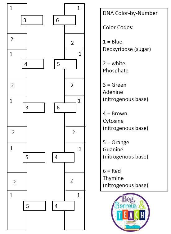 Beg Borrow and Teach DNA ColorByNumber – Dna Coloring Worksheet