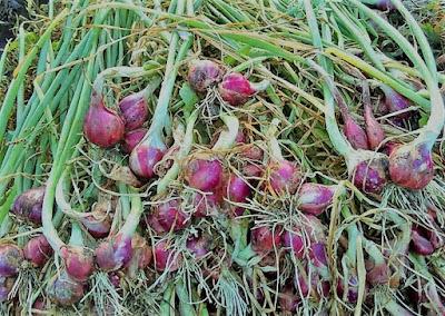 cara reproduksi bawang merah