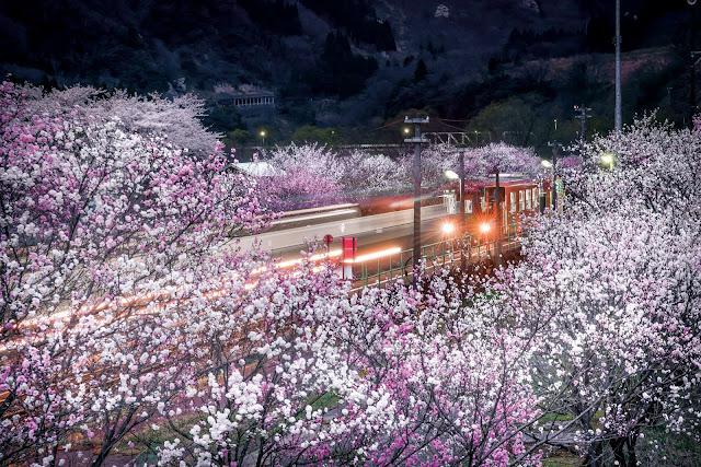 電車,桜,梅