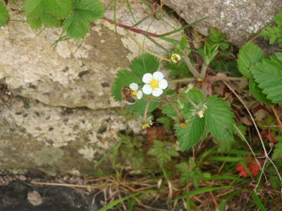 Mini Bee and Wild Strawberry flowers