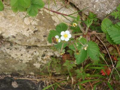 Mini Bee and Wild Strawberry flowers