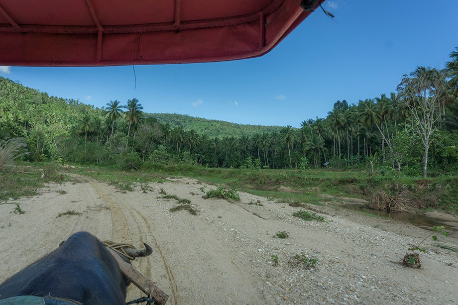 Aboard the carabao cart, coconut tree plantations along the trail