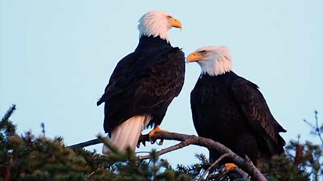 Legenda Asal Mula Burung Elang Menurut Mitologi Suku Dayak Ngaju
