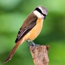 Cara Merawat Burung Cendet Agar Gacor Setiap Hari Sarbaini Com