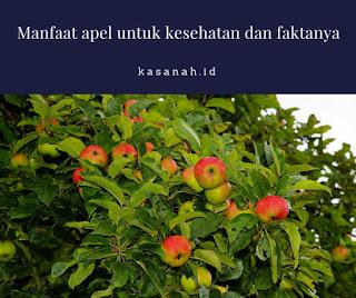 buah apel yang masih di pohon