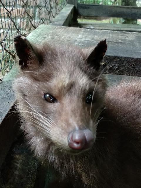 Luwak or civet