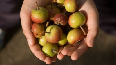 Kristin Holt   Victorian America's Crabapple Jelly and Preserves. Photo: many crabapples in a person's cupped hands, courtesy of Pinterest.