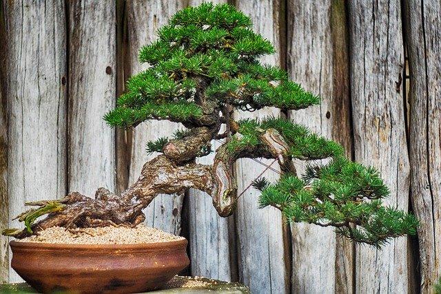 bisnis bonsai