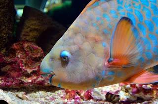 Jenis Ikan Hias Air Laut Kakaktua atau Parrotfish