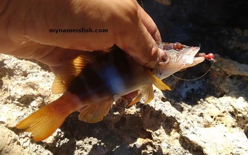 Perka Fish Painted Comber in Greece