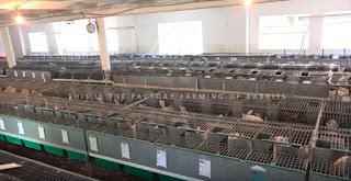 Kandang Kelinci Ternak produksi daging