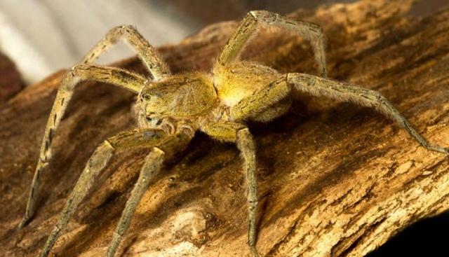 Αράχνη σε τσιμπάει και το δηλητήριο της προκαλεί 4ωρη στuση
