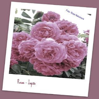 fotos de rosas cor de rosa