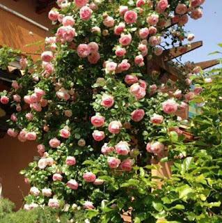 hoa hồng thân gỗ