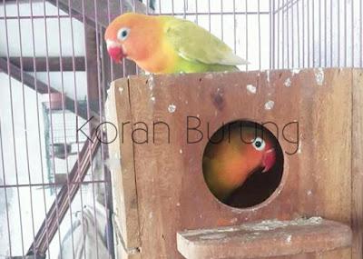 Beternak Lovebird mengasyikkan bagi peternak Cara Ternak Burung Lovebird - Panduan Lengkap Untuk Pemula