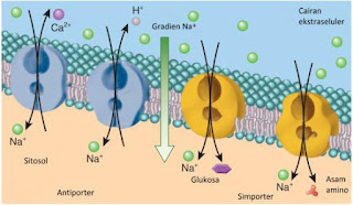 Transpor aktif sekuder. Simporter dan Antiporter Ko-transfor natrium (Sodium co-transport)