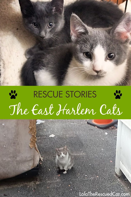 east harlem cats|rescue stories