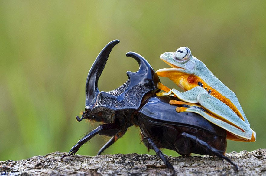 cowboy frog riding beetle animal photography-6