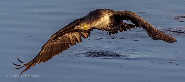 Cormorant Milnerton Lagoon / Woodbridge Island