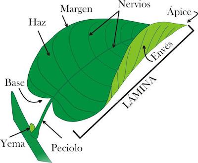 las hojas parte de la planta