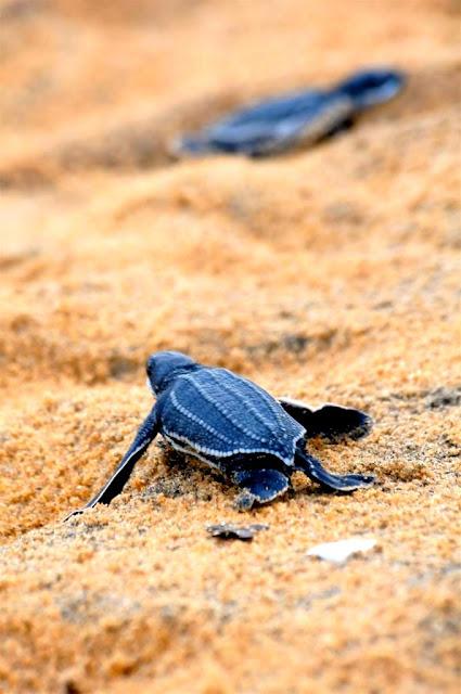 Cayenne, plage montjoly, zeeschildpadden Frans-Guyana