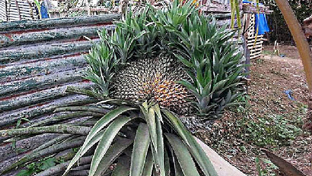 Odd-Shaped Pineapple Grew in Tacloban, Young Boy Asks If Its Safe To Eat