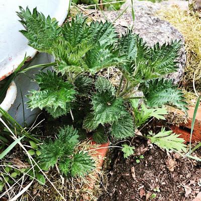 Nokkosia kasvamassa tiilillä reunustetun kasvimaan laidalla