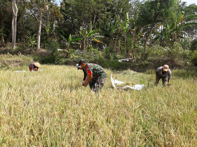 Upaya Khusus Babinsa Dampingi Petani Panen Padi