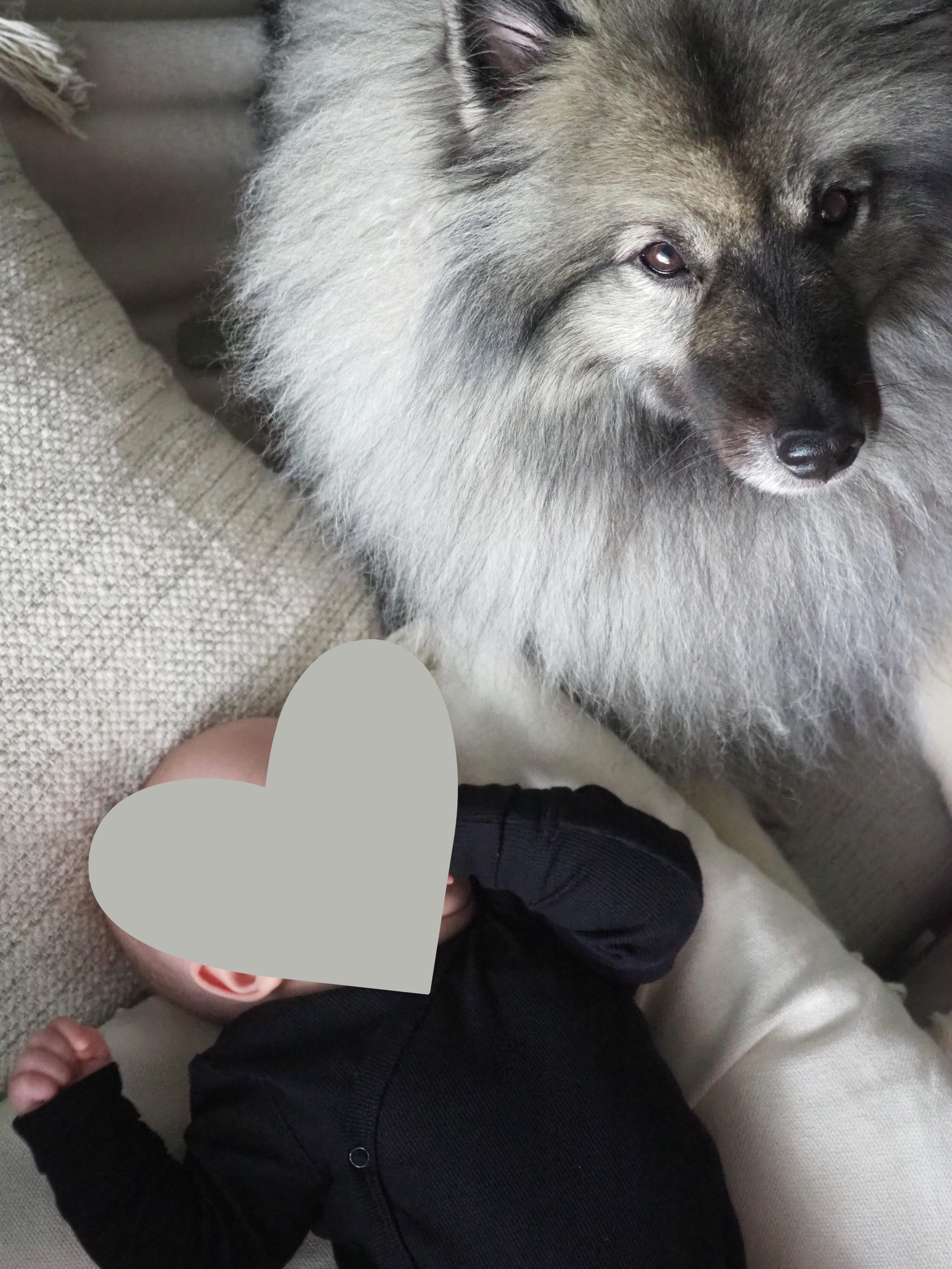 Koiran sopeutuminen vauvaan