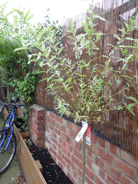 salix flamingo tree in garden