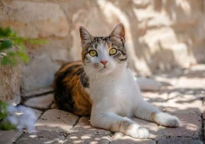 Kucing Siprus