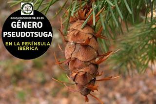 El género Pseudotsuga son arboles perennifolios, elevados, que en condiciones naturales pueden sobrepasar los 100 m. de altura