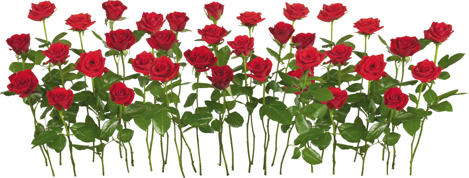 Canteiro de rosas png