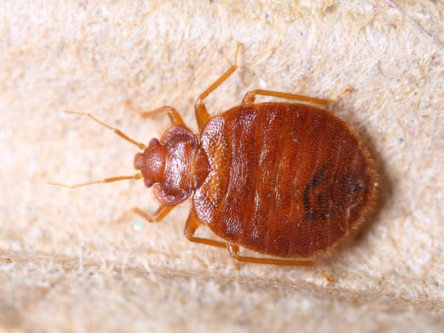 A well-rounded set of measures that reduces reliance on chemical should be used to control bedbugs