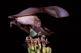 A big gray bat hovering over the top of a green plant with a mantis on it