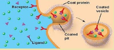Endositosis yang diperantarai reseptor - berbagaireviews.com
