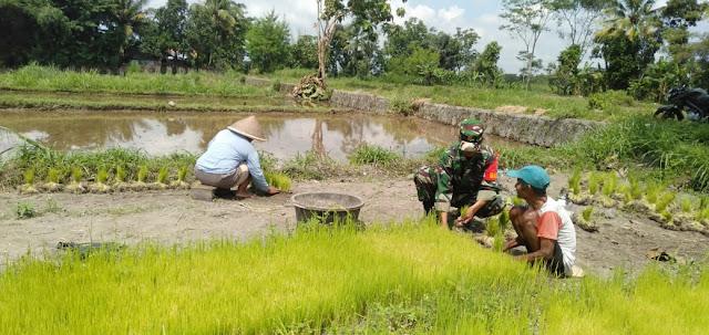 Babinsa Dampingi Petani Dalam Penyiapan Benih Padi