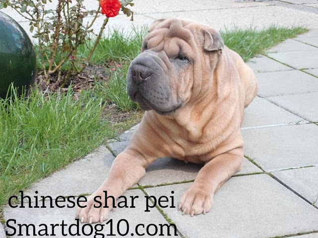shar pei temperament