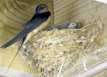 Cara Budidaya Sarang Burung Walet Agar Sukses