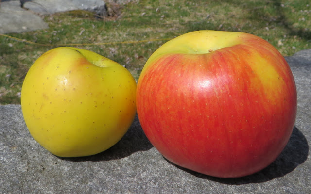 Lady Alice and Gold Rush apples