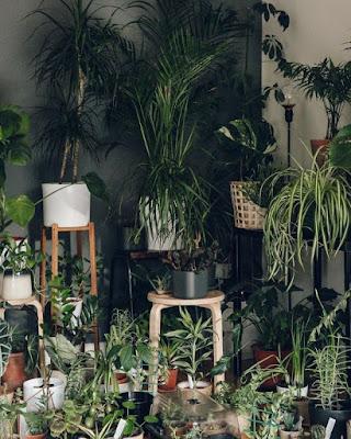 5 Jenis Tanaman Yang Dapat Mempercantik Ruangan Anda : Part 1