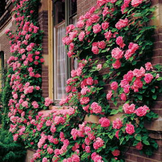 A brick house with climbing pink roses surrounding a window